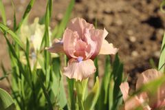 Die rosa Iris im botanischen Garten in Simferopol-Stadt, Krim Stockfotografie