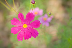 Die rosa Kosmosblume Lizenzfreie Stockfotos