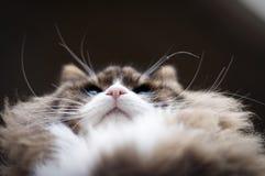 Die rosa Nase der Katze und niedrige Winkelsicht der B?rte stockbild