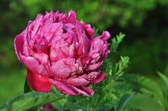 Die rosa Pfingstrose. Stockbilder