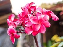 Die Rosa Plumeriablumen Lizenzfreies Stockfoto