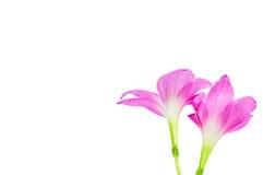 Die rosa Regenlilienblume auf weißem Hintergrund Stockbild