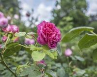 Die rosa Rosen Lizenzfreie Stockfotos