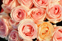 Die rosa Rosen im Garten. Lizenzfreies Stockfoto