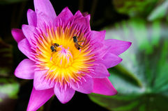 Die rosa Seerose Lotus und Blätter mit zwei Bienen Lizenzfreie Stockbilder