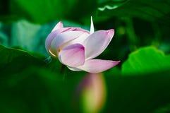 Die rosa Seerose und die Blätter Stockfotografie