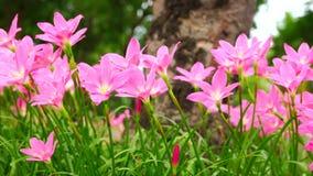 Die rosa zephyranthes, die mit dem Wind Grandiflora sind, brennt ständig durch stock video