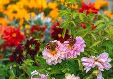 Die Rosadahlienblumen mit Pfaumotte Saturnia pyri mit zwei schönem Schmetterlingen und grünen den Blättern werden auf verwischt lizenzfreie stockfotografie