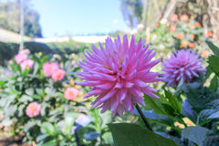 Die rosafarbene Blume Stockbild