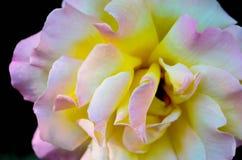 Die rosafarbene Blume Stockfotografie