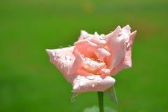 Die rosafarbene Rose Stockbild