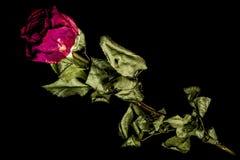 Die Rose lizenzfreie stockbilder