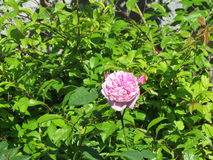 Die Rose Stockfotografie