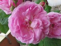 Die Rose stockbild