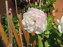 Die Rose stockbilder