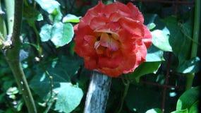 Die Rose Lizenzfreies Stockbild
