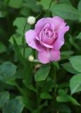 Die Rose der Lavendelfarbe hat in einem Garten geblüht Stockbild