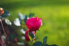 Die Rose hat in meinem Garten geblüht stockbilder
