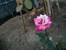 Die Rose ist schön, weil Liebe unser Leben rein ist stockfoto
