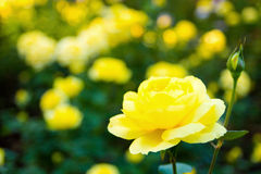 Die Rose Seikoh Lizenzfreies Stockfoto