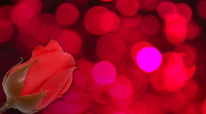 Die Rosen Stockfotografie