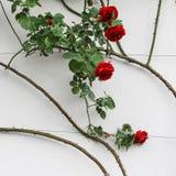 Die Rosen in der Schweiz Stockfoto