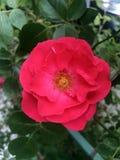 Die Rosen im Garten Stockbilder