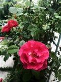 Die Rosen im Garten Lizenzfreies Stockfoto
