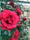 Die Rosen im Garten Stockfoto