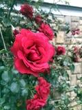 Die Rosen im Garten Lizenzfreie Stockbilder