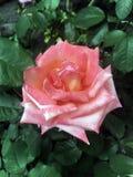 Die Rosen im Garten Lizenzfreie Stockfotos