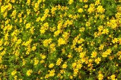 Die Rosen sind in voller Blüte gelb Lizenzfreie Stockbilder