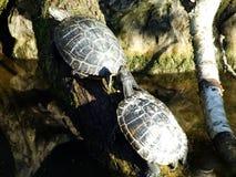 Die rot-ohrigen Schieber Trachemys-scripta elegans, die rot-ohrige Dosenschildkröte oder Würfel Rotwangen-Schmuckschildkröte stockbild