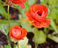Die Rotblumen Stockfoto