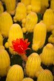 Die rote Blume des Kaktus Stockbild
