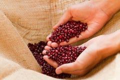 Die rote Bohne, die durch erfahrenen Landwirt für hält, überprüfen eine Qualität Stockbilder