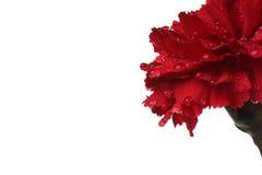 Die rote Gartennelke und die Tropfen des Wassers. Lizenzfreie Stockbilder
