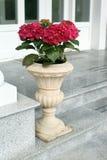 Die rote Hortensie im keramischen Topf Stockfotografie