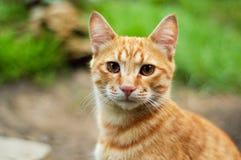 Die rote Katze Stockbilder