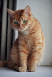 Die rote Katze Lizenzfreie Stockfotografie