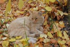 Die rote Katze Stockbild