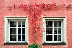 Die rote Kriechpflanzen-Anlage auf der Wand Stockbilder