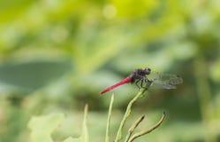 Die rote Libelle Stockbild