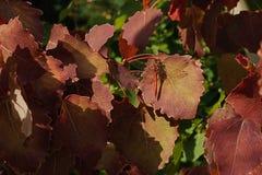 Die rote Libelle sitzt auf einem rötlich braunen Blatt der Espe Stockbild