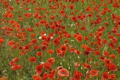 Die rote Mohnblumennahaufnahme in der Sommerzeit Stockfotos