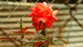 Die rote Rose Stockfotografie