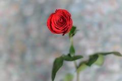 Die rote Rose im an grauen Hintergrund Stockfoto