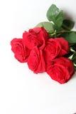 Die rote Rose ist ein Weiß Lizenzfreie Stockfotos