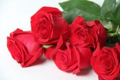 Die rote Rose ist ein Weiß Stockbilder