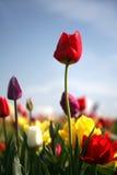 Die rote Tulpe stockfotografie